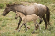 Pryor Mountains, Montana, wild horses, red roan mare and dun filly walking