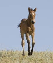 Pryor Mountains, Montana, wild horses, bay foal runs