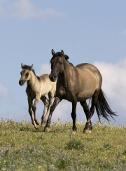 Pryor Mountains, Montana, wild horses, grulla mare trots and foal runs