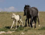 Pryor Mountains, Montana, wild horses, palomino colt and two mares run