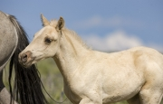 Pryor Mountains, Montana, wild horses, palomino colt