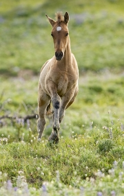 Pryor Mountains, Montana, wild horses, filly runs