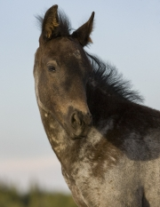 Pryor Mountains, Montana, wild horses, dark colt turns his head