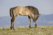 Pryor Mountains, Montana, wild horses, grulla filly scratching her leg