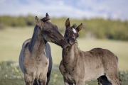 Pryor Mountains, Montana, wild horses, two colts playing