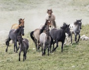 Pryor Mountains, Montana, wild horses, band runs to water, mares, stallion, foals