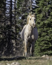 A wild horse in the Pryor Mountains of Montana