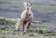 A two year old colt runs back to his family in the Pryor Mountains of Montana