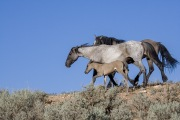 wild horses - stallion, mare and foal, Pryor Mountains, MT