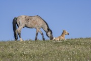 wild horses - blue roan stallion waking up palomino filly, Pryor Mountains, MT