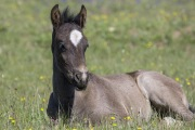 wild horse - grulla filly, Pryor Mountains, MT