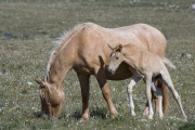 wild horses - palomino mare and filly, Pryor Mountains, MT