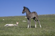 Palomino filly lying down and grulla colt in Pryor Mountains, Montana