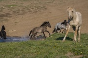wild horses - black mare, grulla mare, blue roan mare and palomino stallion spooked at water hole, Pryor Mountains, MT