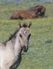 Blue eyed grulla colt in front of bay stallion lying down in Pryor Mountains, Montana
