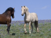 wild horses - palomino stallion and bay stallion approach, Pryor Mountains, MT