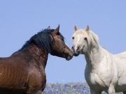 Bay stallion and Palomino stallions touch noses in Pryor Mountains, Montana