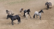 Grulla stallion drives away blue roan mare, two black mares, red roan filly, grulla mare and buckskin colt headed for waterhole in Pryor Mountains, Montana