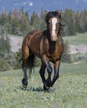 wild horse - Bay stallion, Pryor Mountains, MT