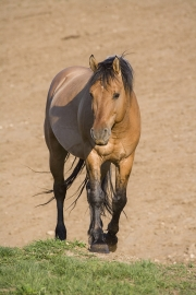 wild horse - dun stallion, Pryor Mountains, MT