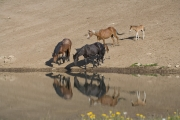 wild horses - two mares, black and sorrel, two foals, bay and dun, and bay stallion at water, Pryor Mountains, MT