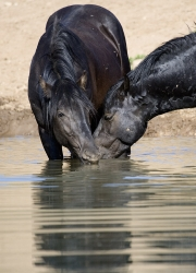 wild horses - two black bachelor stallions drink together, Pryor Mountains, MT