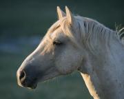 Palomino stallion, wild horse, in Pryor Mountains, Montana