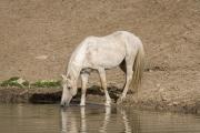 Palomino stallion drinking in Pryor Mountains, Montana
