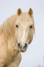 wild horse, mustang, red polomino, in winter, name of horse is Cloud, Pryor Mountains, MT