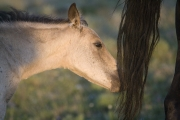 Buckskin colt chews on black mare's tail in Pryor Mountains, Montana