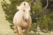 Pryor Mountains, Montana, wild horses, palomino stallion head on