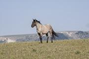 wild horse, grulla roan stallion in Pryor Mountains, MT