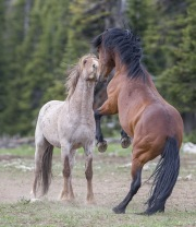 Wild horses, mustangs, in Pryor Mountains, MT - red roan stallion faces down rival bay stallion