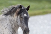 Wild horses, mustangs, in Pryor Mountains, MT - blue roan stallion on snow