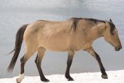 Wild horses, mustangs, in Pryor Mountains, MT - dun mare walks on snow