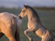 Wild horses, mustangs, in Pryor Mountains, MT - colt plays with mare's tail