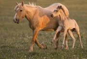 Wild horses, mustangs, in Pryor Mountains, MT - Palomino mare and dun colt run