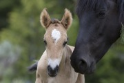 Wild horses, mustangs, in Pryor Mountains, MT - black mare and dun foal