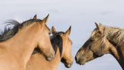 Wild horses, mustangs, in Pryor Mountains, MT - palomino stallion and two dun mares