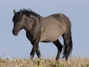 Wild horses, mustangs, in Pryor Mountains, MT - grulla stallion
