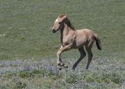 Wild horses, mustangs, in Pryor Mountains, MT - foal runs