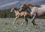 Wild horses, mustangs, in Pryor Mountains, MT - red roan mare and foal run
