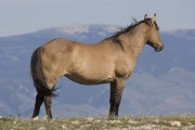 wild horse, mustang - Dun stallion looks out in Pryor Mountains, MT