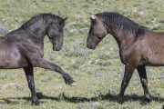 Wild horses, mustangs, in Pryor Mountains, MT - two stallions posture