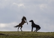 Wild horses, mustangs, in Pryor Mountains, MT - two stallions face off, one rearing