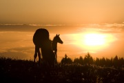 Wild horses, mustangs, in Pryor Mountains, MT - mare and foal at dawn