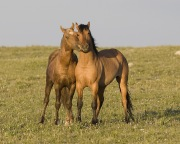 Wild horses, mustangs, in Pryor Mountains, MT - dun and palomino stallions play