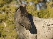 Pryor Mountains, Montana, wild horses, blue roan stallion turns