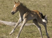 Pryor Mountains, Montana, wild horses, filly runs