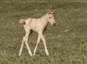 Pryor Mountains, Montana, wild horses, palomino colt trots